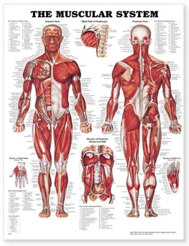 9781587790355: The Muscular System Anatomical Chart
