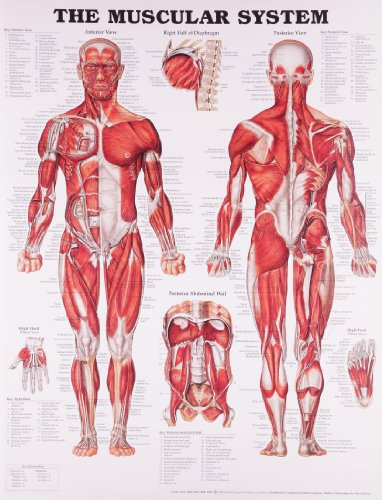 The Muscular System Anatomical Chart (Hardcover): Acc