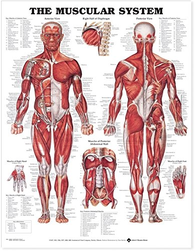 9781587790386: The Muscular System