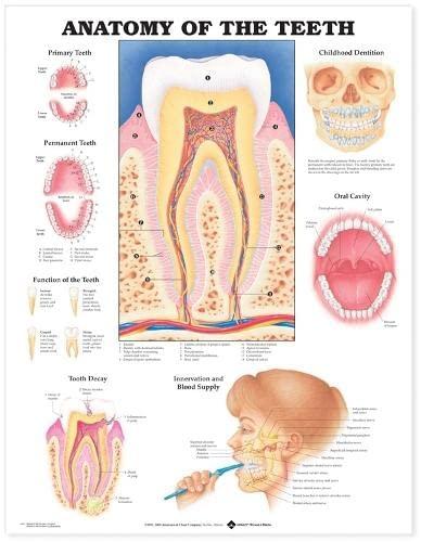 9781587790997: Anatomy of the Teeth Anatomical Chart