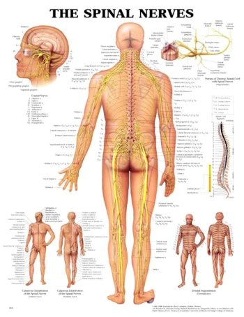 9781587794483: The Spinal Nerves 3D Raised Relief Chart