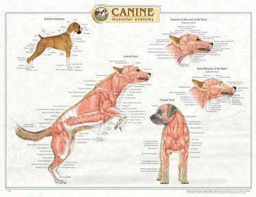 9781587795053: Canine Muscular Anatomy Chart