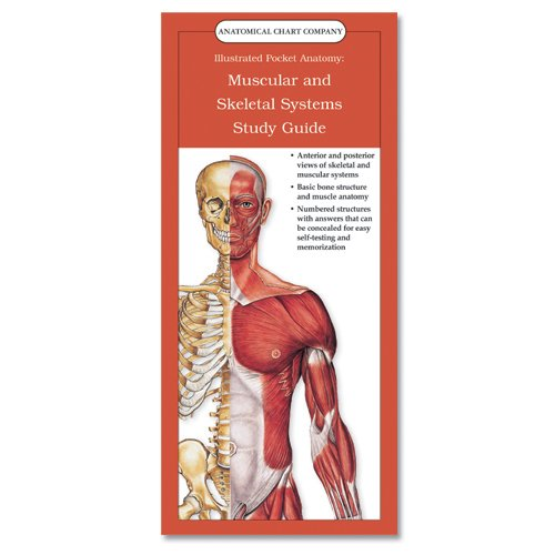 anatomy muscle study guide Hole's essentials of human anatomy & physiology david shier study guide for hole's essentials of a &p thin muscle called the diaphragm.