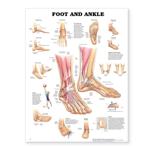 Foot and Ankle Anatomical Chart: Anatomical Chart Company