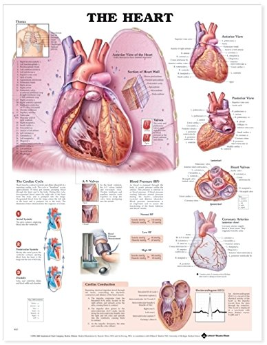 9781587797019: The Heart Anatomical Chart