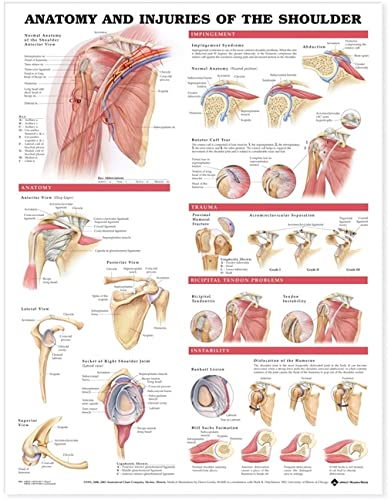 Anatomy and Injuries of the Shoulder Anatomical: Acc