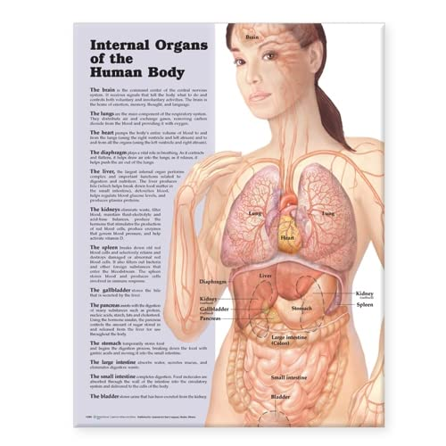 Internal Organs of the Human Body Anatomical: Acc