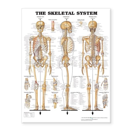 9781587799822: The Skeletal System Giant Chart
