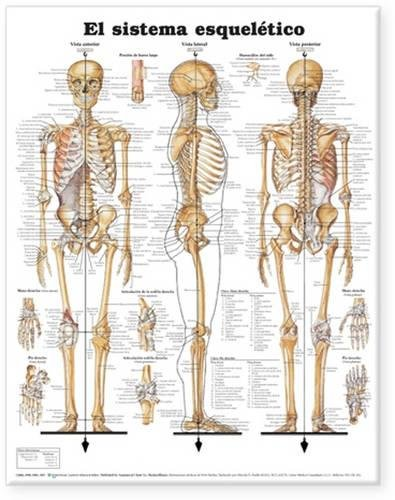 9781587799976: The Skeletal System Anatomical Chart in Spanish (El Sistema Esqueletico)