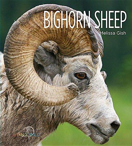 Bighorn Sheep (Hardcover): Melissa Gish