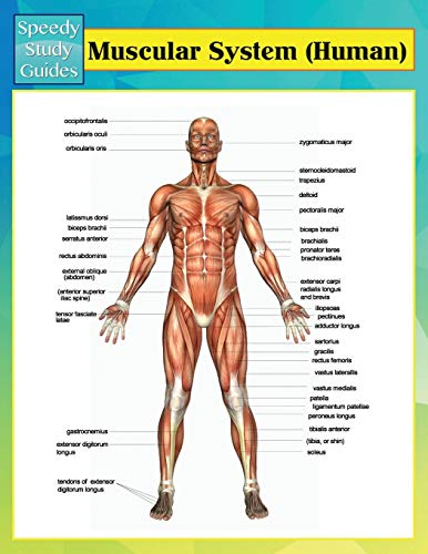 9781634286480: Muscular System (Human) (Speedy Study Guides)