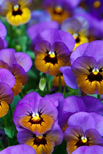 Flower Journal: Field of Purple Pansies Journal: Skm Designs