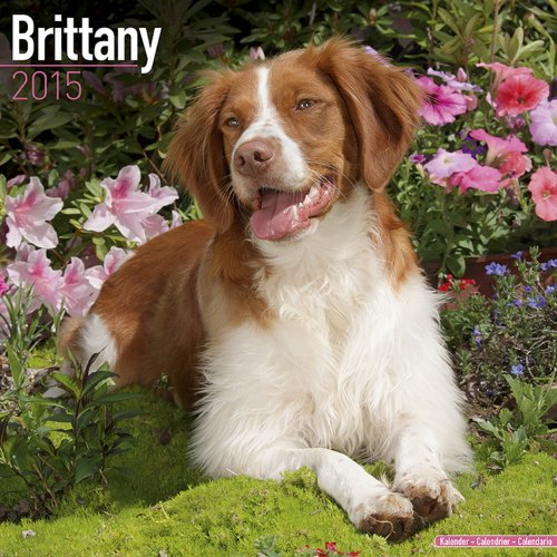 9781782081661: Brittany Calendar - Breed Specific Brittanys Calendar - 2015 Wall calendars - Brittanys Dog Calendars - Monthly Wall Calendar by Avonside