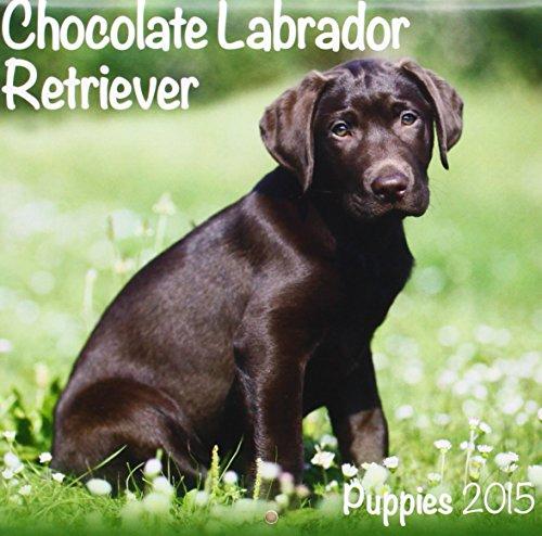 9781782084235: Chocolate Labrador (Mini) 2015