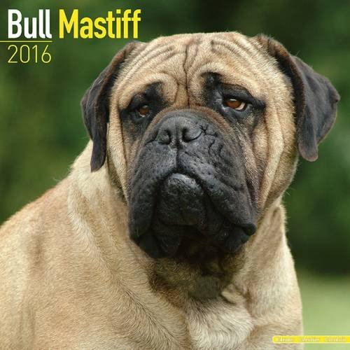 9781782085492: Bull Mastiff Calendar - Breed Specific Bull Mastiffs Calendar - 2016 Wall calendars - Dog Calendars - Monthly Wall Calendar by Avonside