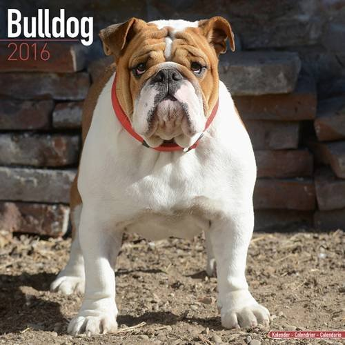 9781782085515: Bulldog Calendar - Only Dog Breed Bulldogs Calendar - 2016 Wall calendars - Dog Calendars - Monthly Wall Calendar by Avonside