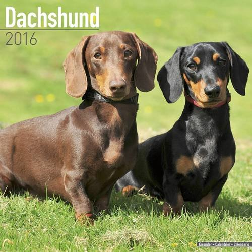 9781782085607: Dachshund Calendar - Only Dog Breed Dachshund Calendar - 2016 Wall calendars - Dog Calendars - Monthly Wall Calendar by Avonside