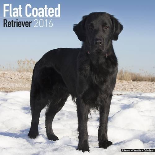 9781782085706: Flat Coated Retriever Calendar 2016 (Square)