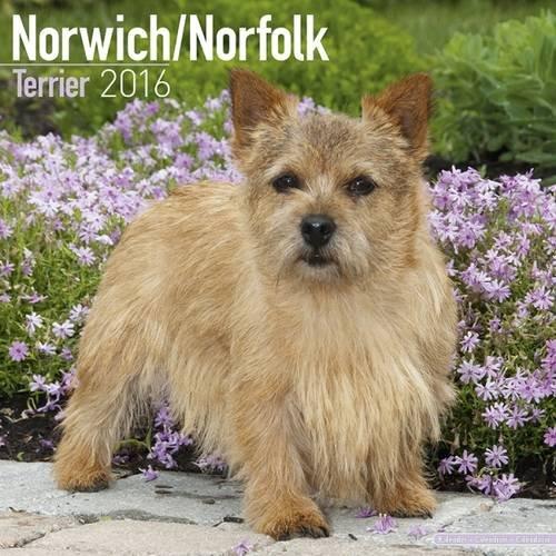 9781782085959: Norwich / Norfolk Terrier Calendar - Breed Specific Norwich / Norfolk Terrier Calendar - 2016 Wall calendars - Dog Calendars - Monthly Wall Calendar by Avonside