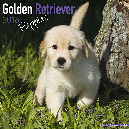 9781782086352: Golden Retriever Puppies Calendar 2016