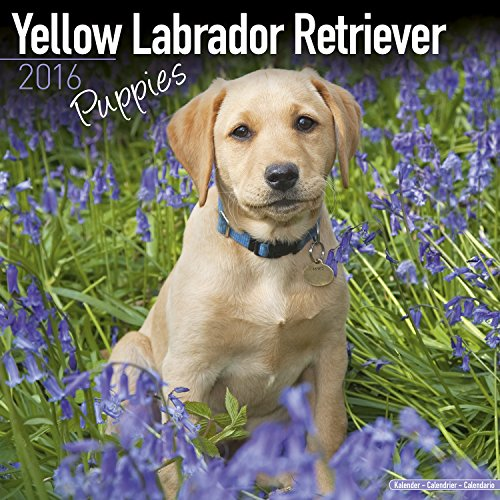 9781782086383: Yellow Labrador Retriever Puppies Calendar 2016