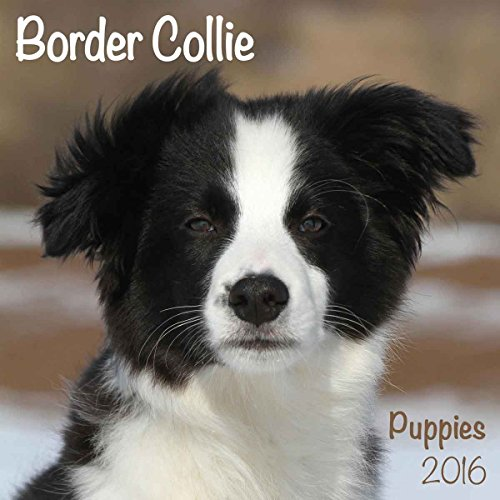 9781782086987: Border Collie Puppies M 2016 Calendar (Mini)