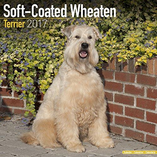 9781782088165: Soft Coated Wheaten Terrier Calendar 2017 - Dog Breed Calendars - 2016 - 2017 wall calendars - 16 Month by Avonside