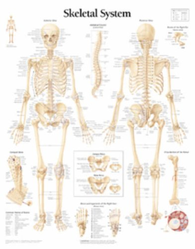 9781930633018: The Skeletal System chart: Laminated Wall Chart ...