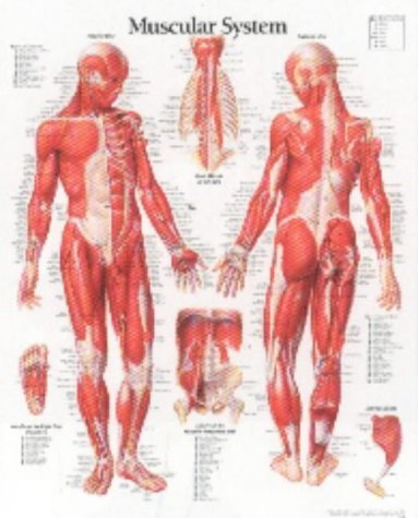 Muscular System Male chart: Laminated Wall Chart: Scientific Publishing