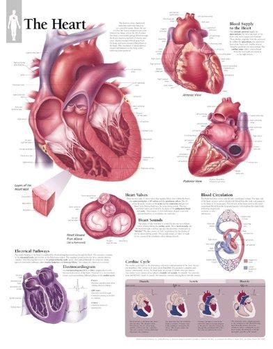9781930633094: The Heart chart: Laminated Wall Chart