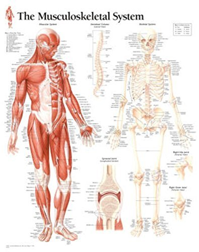Musculoskeletal System chart Wall Chart