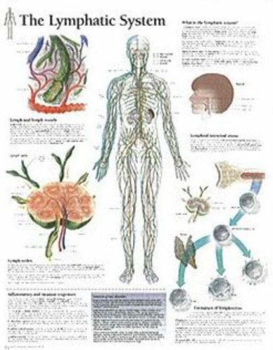 9781930633902: The Lymphatic System chart: Wall Chart