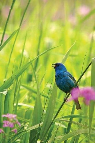 9781932472578: Indigo Bunting Blank Journal (Nodin Press Blank Journals)