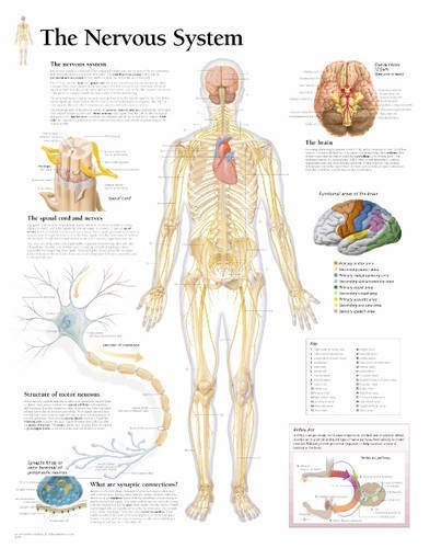 9781932922080: Nervous System Laminated Poster