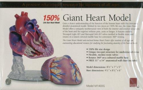 Giant Heart Model