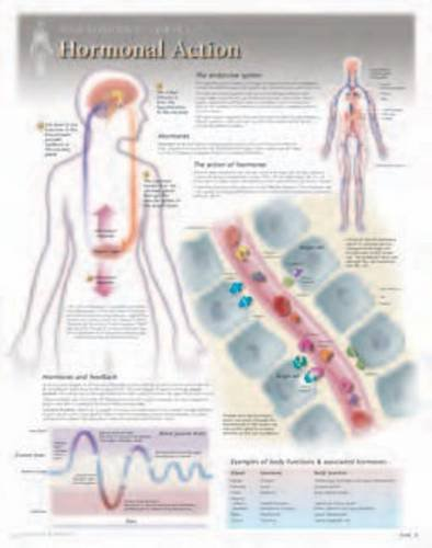9781935612162: Hormonal Action Wall Chart: 8280