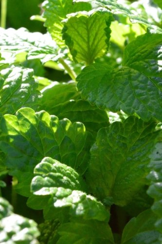 Mint Leaves Growing Journal: Take Notes, Write: Journal, Garden Lovers