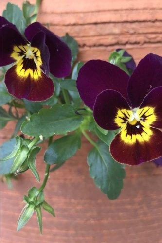 Velvety Beautiful Dark Purple and Yellow Pansy: Creations, Cs
