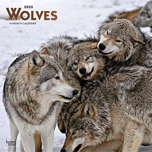 9781975405632: Wolves 2020 Square Wall Calendar