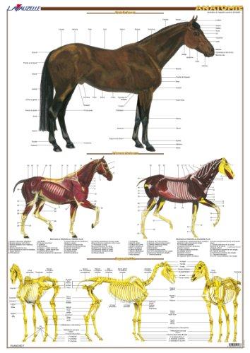 9782702515433: Planche Hippologie - Anatomie du cheval
