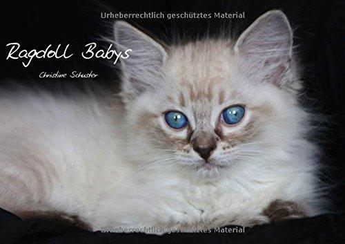 9783660199116: Ragdoll Babys (Tischaufsteller DIN A5 quer): Kleine Blauaugen entdecken die Welt. (Tischaufsteller, 14 Seiten )