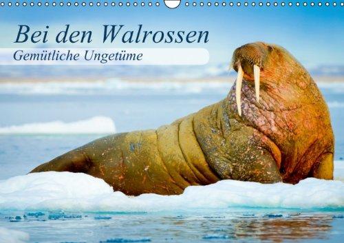 9783660366655: Gemütliche Ungetüme - Bei den Walrossen - Author: CALVENDO