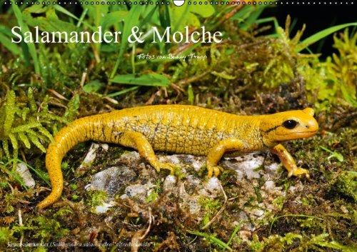 9783660373455: Salamander Amp Molche Wandkalender 2