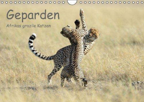 9783660436037: Geparden - Afrikas grazile Katzen (Wandkalender immerw�hrend DIN A4 quer): Wundersch�ne Portraitaufnahmen dieses faszinierenden Raubtieres (Monatskalender, 14 Seiten)