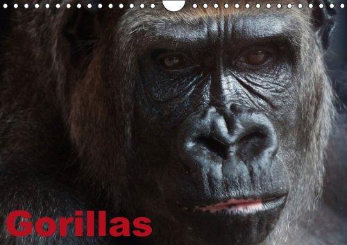 9783660531367: Gorillas / Geburtstagskalender (Wandkalender immerwährend DIN A4 quer): Soziale Kraftpakete mit Charme und Charakter (Monatskalender, 14 Seiten)