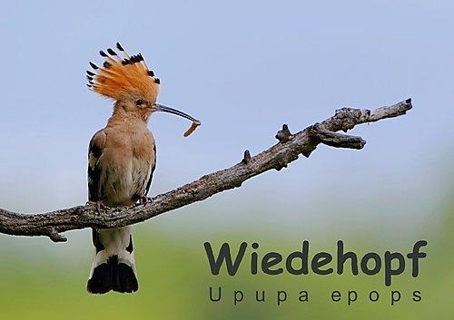 9783660754827: Wiedehopf - Upupa epops (Posterbuch DIN A4 quer): Faszinierende Aufnahmen aus dem Alltag eines Wiedehopfpaares (Posterbuch, 14 Seiten)
