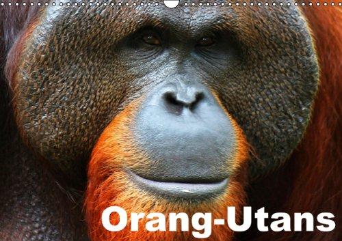 9783660863192: Orang Utans Wandkalender 2015 Din A3 Q