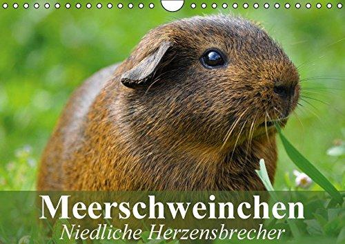 9783664111398: Meerschweinchen Niedliche Herzensbrecher (Wandkalender 2016 DIN A4 quer): Putzige Nagetiere aus Südamerika (Geburtstagskalender, 14 Seiten)