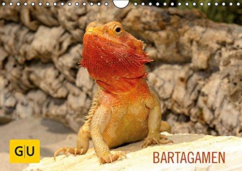 9783664268665: BARTAGAMEN (Wandkalender 2016 DIN A4 quer): Faszinierende Nahaufnahmen der beeindruckenden Echsen: Erleben Sie die freundlichen Minidrachen in ... ganz nah. (Monatskalender, 14 Seiten)