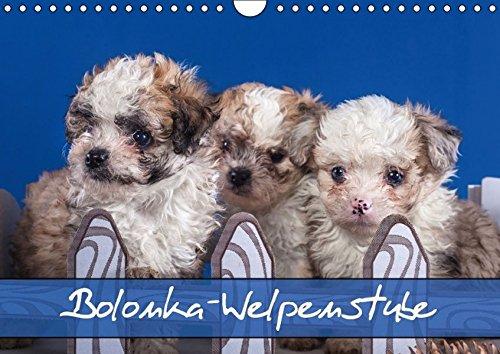 9783664358700: Bolonka Welpenstube (Wandkalender 2016 DIN A4 quer): Bolonka Welpen (Monatskalender, 14 Seiten) (Calvendo Tiere)